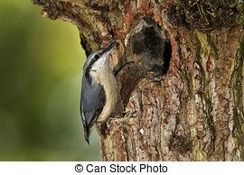 Stock Photo of Nuthatch, Sitta europaea, single bird on branch.