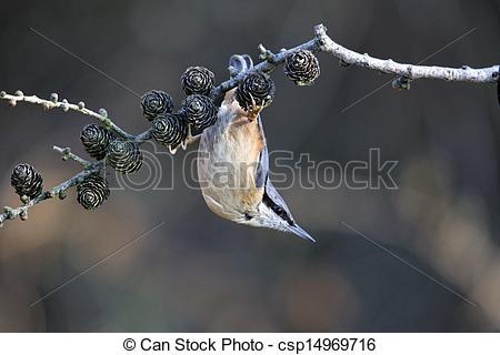Stock Photography of Nuthatch, Sitta europaea, single bird hanging.