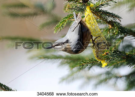 Pictures of Nuthatch (Sitta europaea) perching on a fat ball.