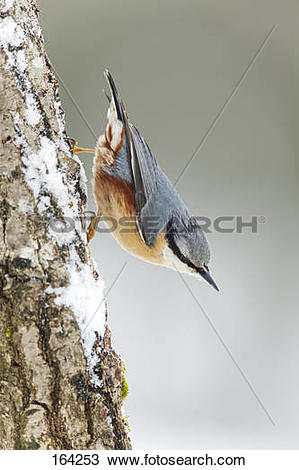 Stock Photo of Eurasian Nuthatch at branch / Sitta europaea 164253.