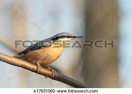 Stock Photo of Nuthatch (Sitta europaea) k17631083.
