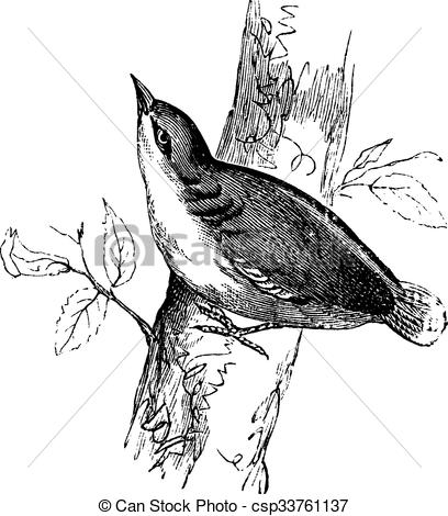 Vectors of Eurasian Nuthatch or Sitta europaea vintage engraving.