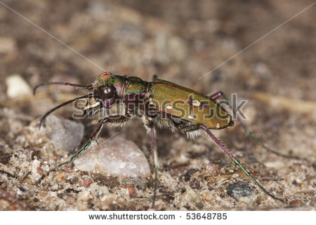 "spotted Tiger Beetle"" Stock Photos, Royalty."