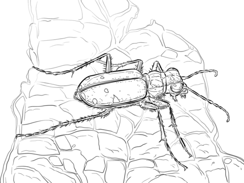 Six Spotted Tiger Beetle coloring page.