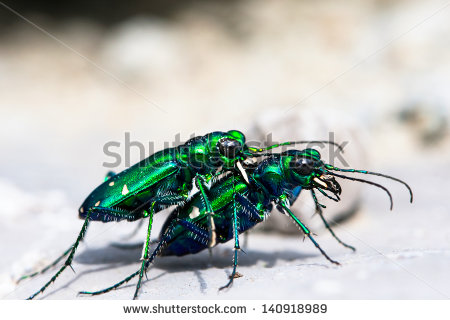 Spotted Tiger Beetle Stock Photos, Royalty.