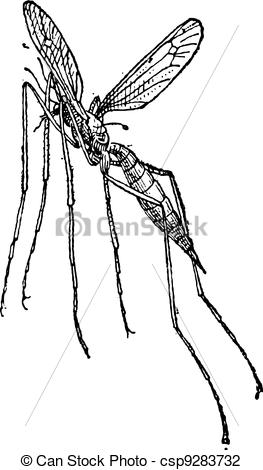 Vector Illustration of Crane fly or mosquito hawk, vintage.
