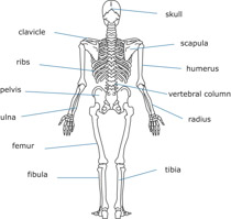Search Results for skeletal system.