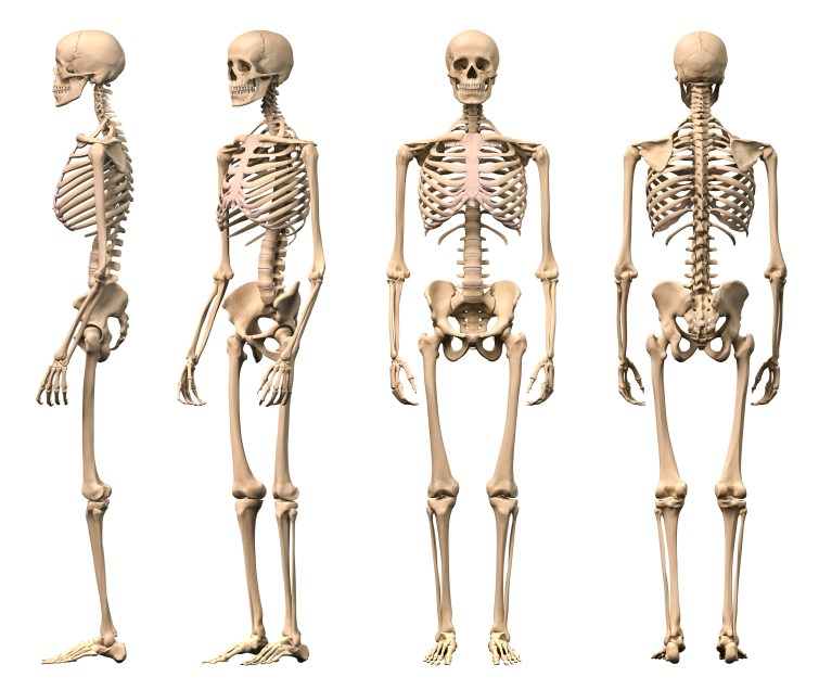 Skeletal system clipart 4 » Clipart Portal.