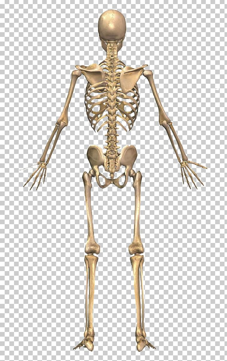 The Skeletal System Human Skeleton Human Back Human Body PNG.