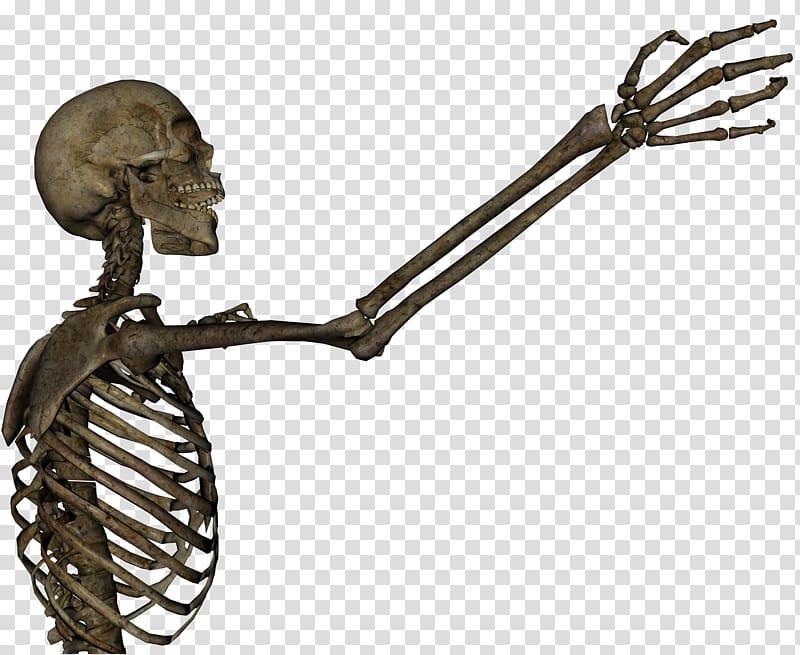 Human skeleton Arm Skull Anatomy , Skeleton transparent.