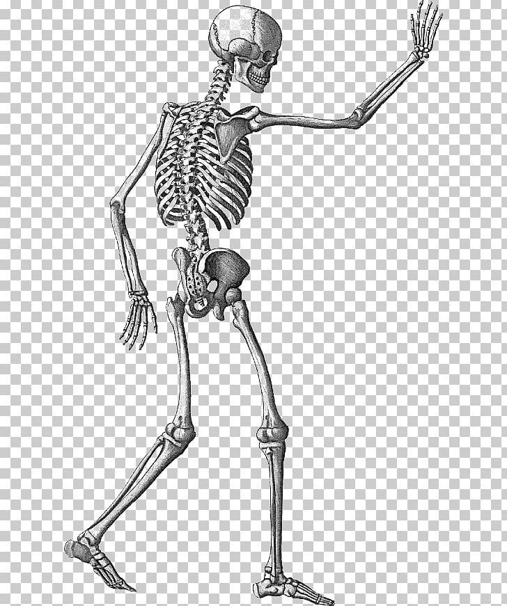 Human Skeleton Appendicular Skeleton PNG, Clipart.