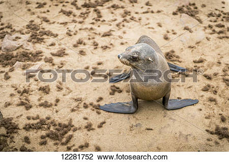 Stock Photo of Cape Fur Seal (pinnipedia) on the Seal reserve of.