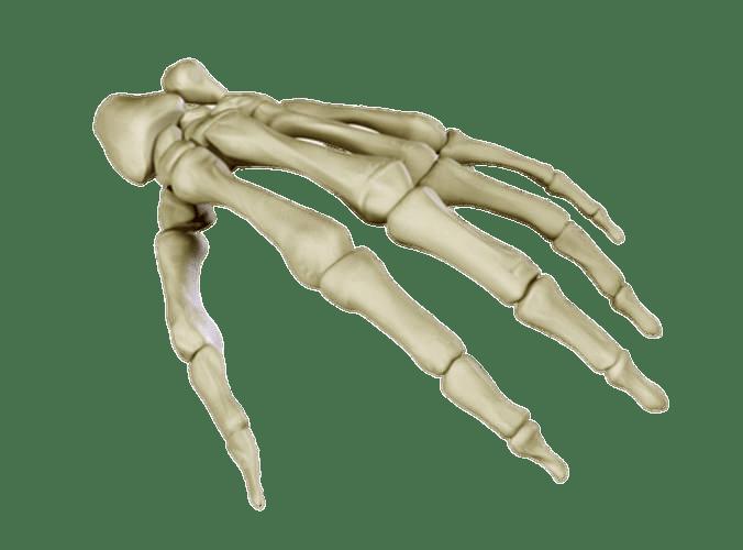 Human skeleton Anatomy Carpal bones Human body.