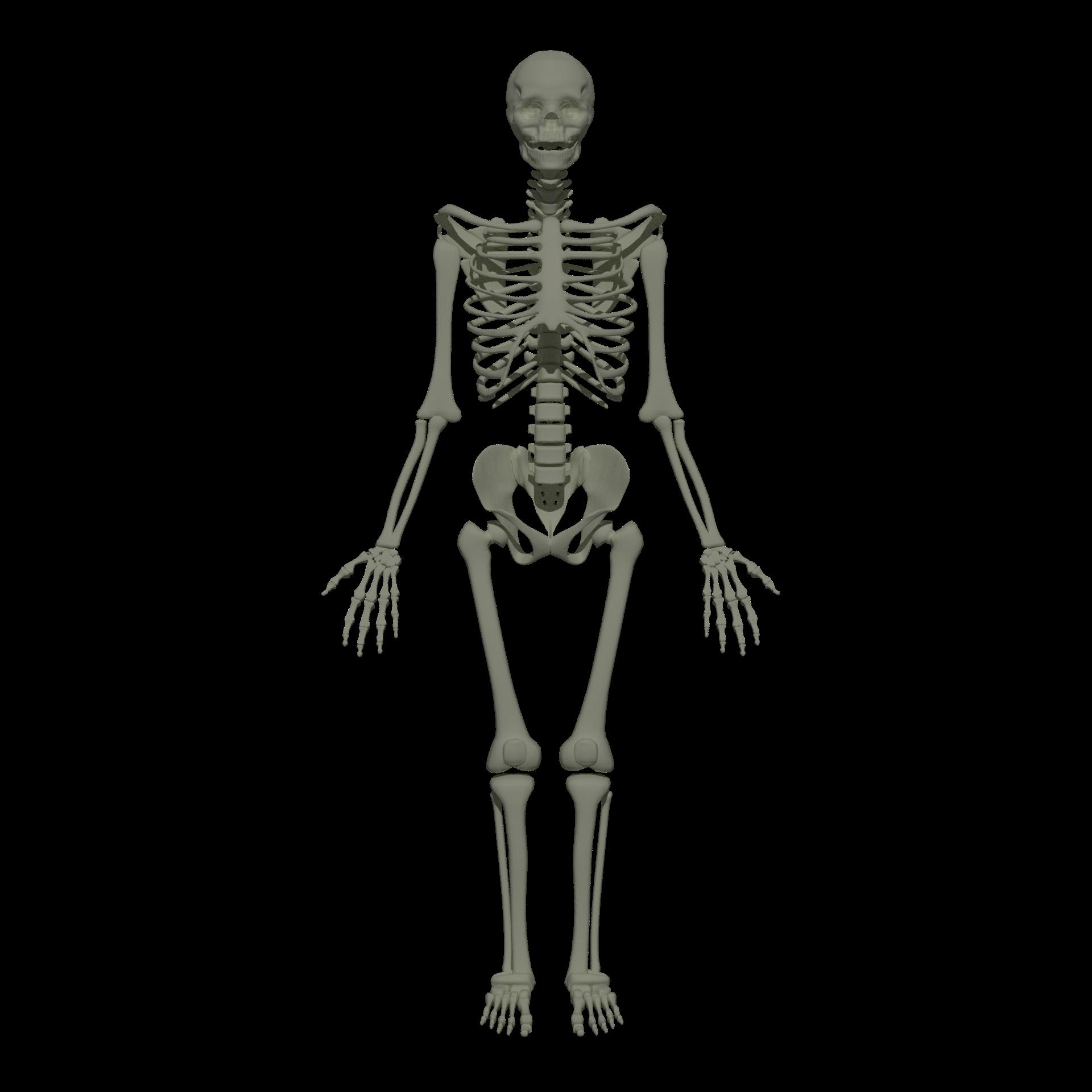 File:201805 human skeleton.png.