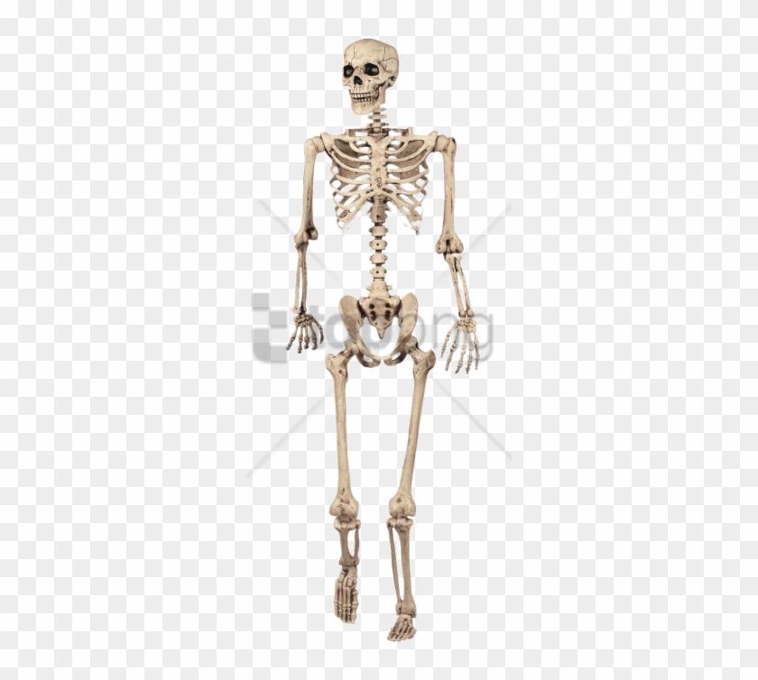 Download Full Skeleton Model Png Images Background.