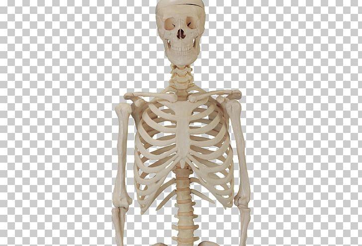 Human Skeleton PNG, Clipart, Decorative, Decorative Material.