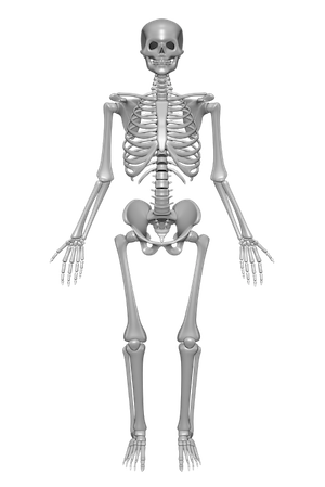 Skeletal System PNG HD Transparent Skeletal System HD.PNG.