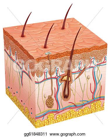 Skin Stock Illustrations.