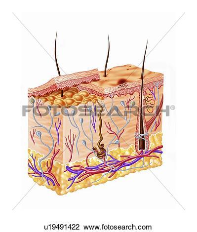Clip Art of Human skin anatomy, artwork u19491422.