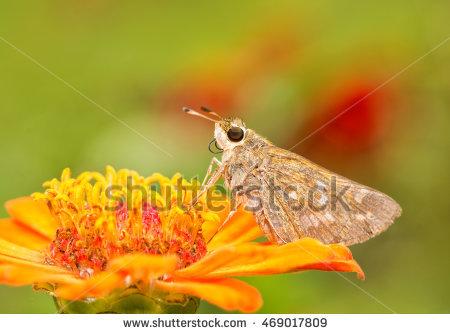 Sachem butterfly clipart.