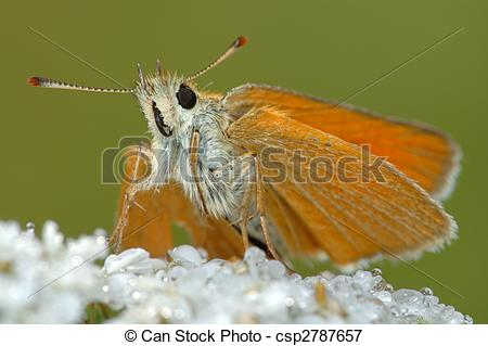 Picture of Butterfly Large Skipper (Ochlodes sylvanus)..