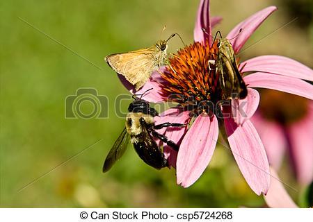 Pictures of Crossline Skipper Butterfly Bumblebee Flower 'Magnus.