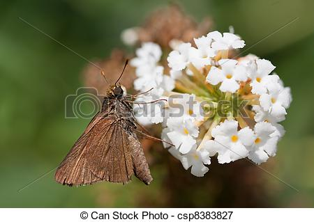 Picture of brown skipper on a butterfly bush.