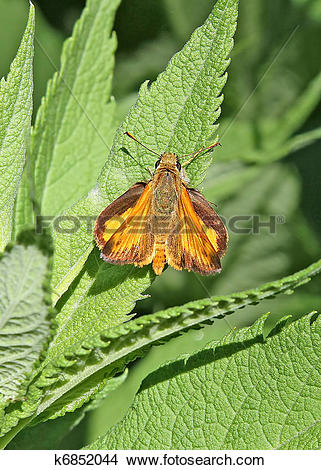 Stock Photo of Tropical Least Skipper Butterfly k6852044.