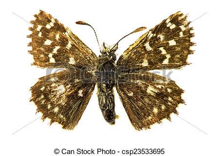 Stock Photographs of Safflower Skipper butterfly.