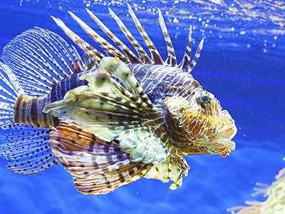 Scorpion Fish Jigsaw Puzzle.