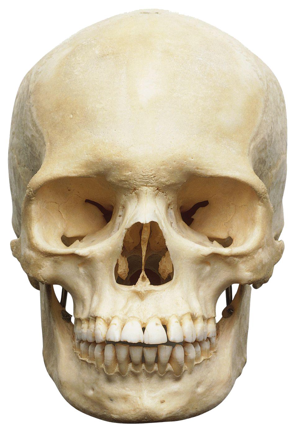 PNG Skeleton Head Transparent Skeleton Head.PNG Images.