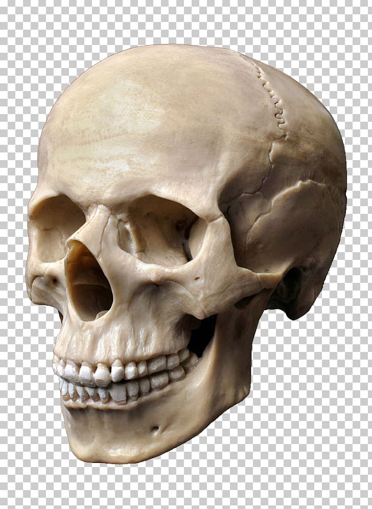 Human Skull Stock Photography Human Skeleton Human Head PNG.