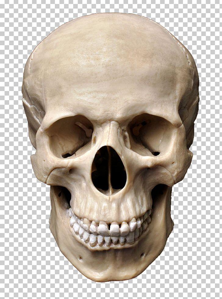 Skull Human Skeleton Stock Photography Homo Sapiens Bone PNG.