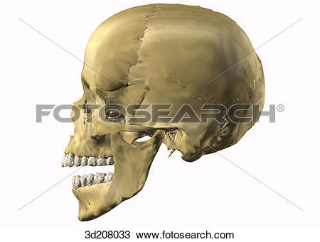 Drawing of Lateral view of skull with open mouth. 3d208033.