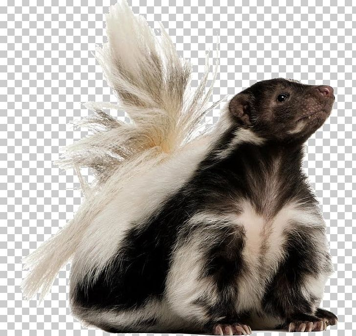 Skunk PNG, Clipart, Animal, Animals, Animal World, Animation.