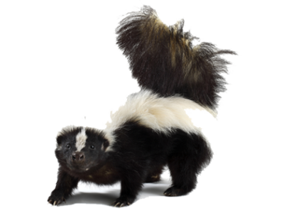 Download Free png Skunk PNG Picture.