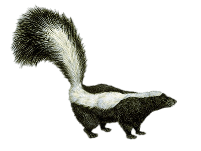 Skunk Drawing transparent PNG.