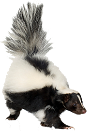 PNG Skunk Transparent Skunk.PNG Images..