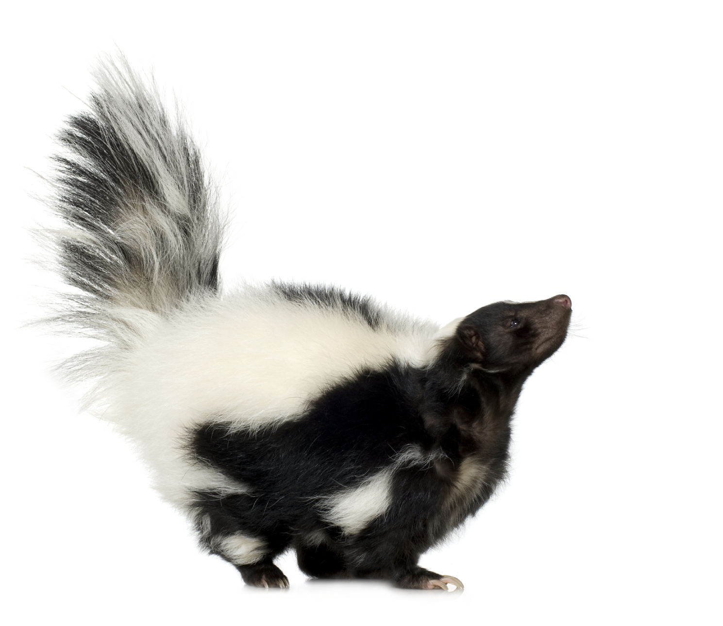 Jpg 1489x1289 Skunk With Transparent Bac #26239.