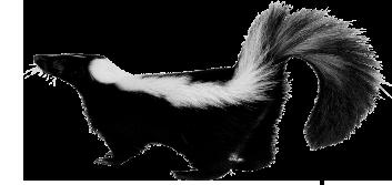 Skunk PNG images free download.