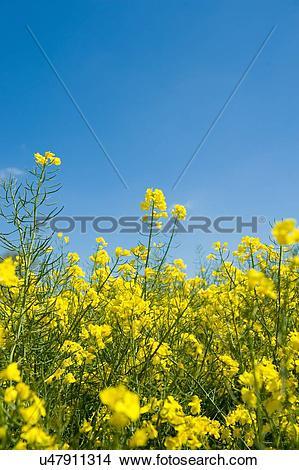 Stock Photo of Yellow oil seed rape plants and blue sky u47911314.