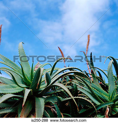 Pictures of Aloe plants under blue sky is250.