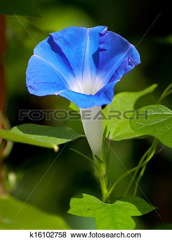 Pictures of Blue morning glory flower k16102758.