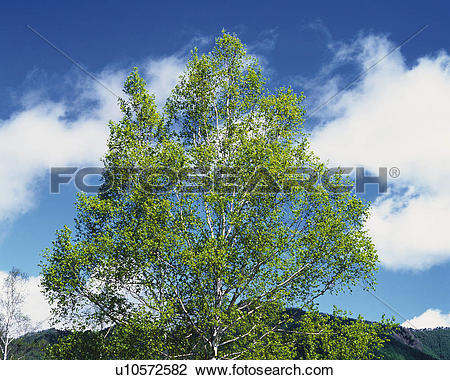 Stock Photo of a Single Tree, With a Blue Sky Filled With Clouds.