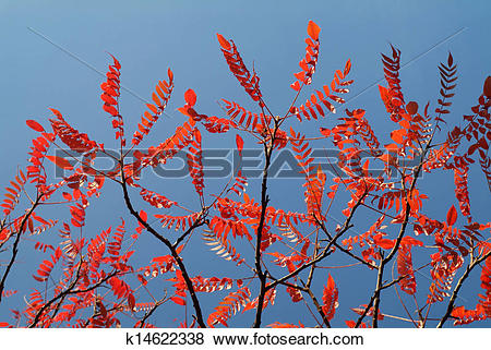 Pictures of Red autumn leaves of a stag´s horn sumac tree against.