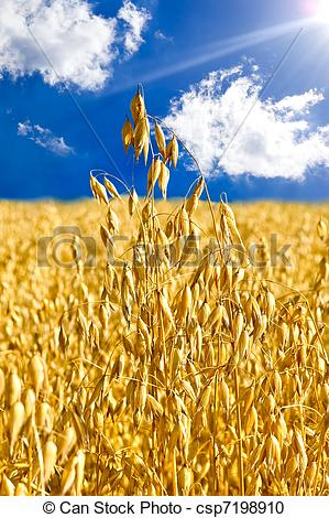 Stock Photography of Stem oats against the blue sky.