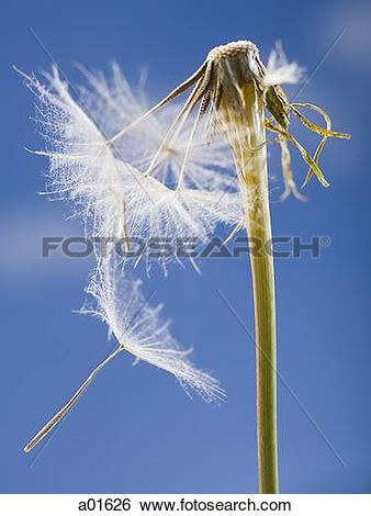 Stock Images of Dandelion seed and stem with blue sky a01626.