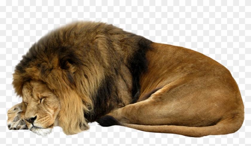 Lion Sleeping Png, Transparent Png.