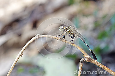 Slender Skimmer Dragonfly Mating Royalty Free Stock Images.