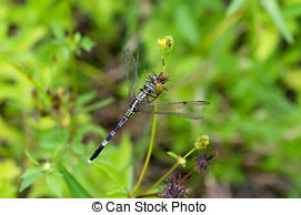 Picture of A slender skimmer dragonfly.